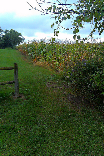 Path, corn, fence